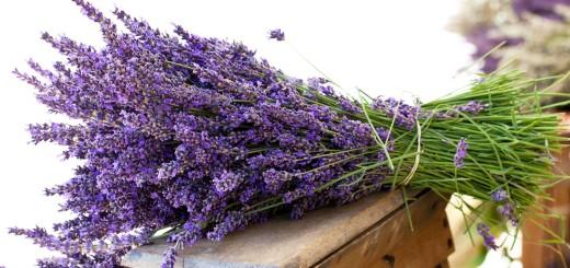 Coeur de Lavande en Provence