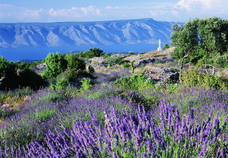 Typical lavender fields towards Brac island, Insel Hvar, Dalmatien, Kroatien