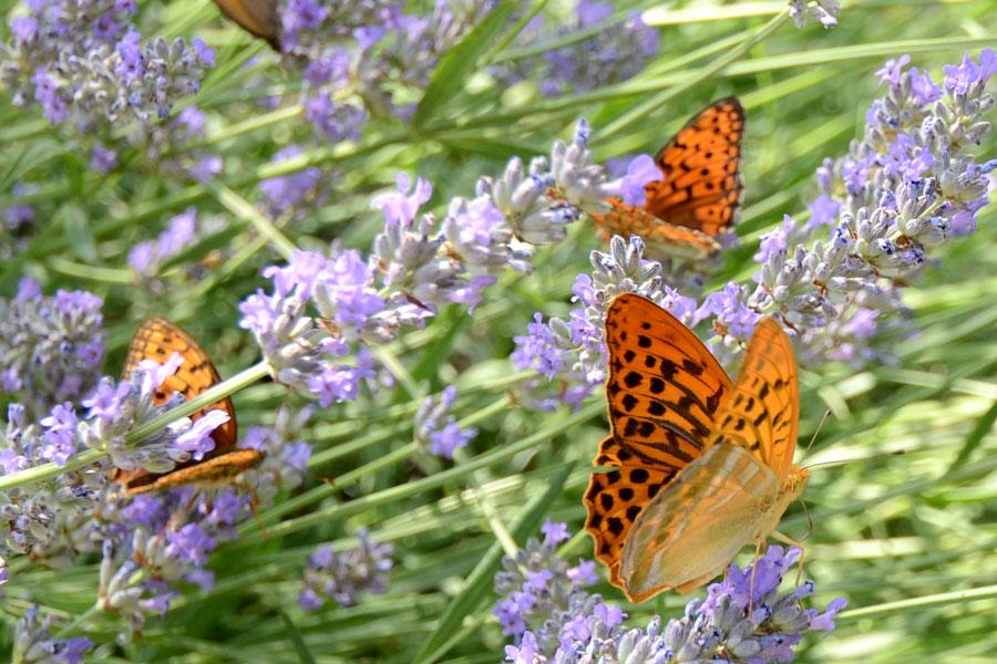 butterflysL